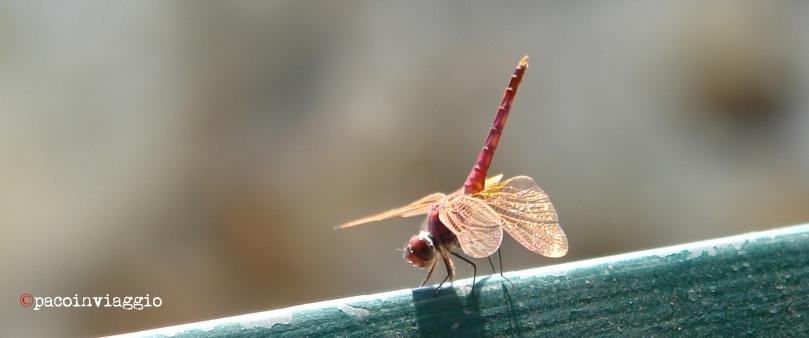 libellula copy
