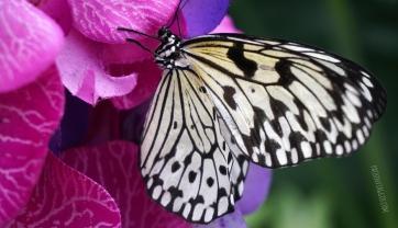 farfalle2